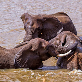Bath time by George Watson - Animals Other Mammals ( elephants, bathing, fun, ivory tusks, washing,  )