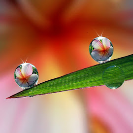 :: In pink :: by Dedy Haryanto - Nature Up Close Natural Waterdrops
