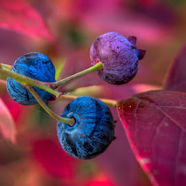 Blueberries by Simon Forster - Nature Up Close Gardens & Produce (  )