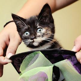 Halloween Kitty by Meaghan Estes - Animals - Cats Kittens ( cat, kitten, purple, ruby, green, tortie, feline, tortoiseshell, halloween, hat )