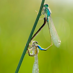 Damselfly Love by MIhail Syarov - Animals Insects & Spiders ( love, green, sunny day, dragonfly, insect )
