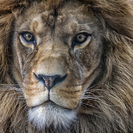 King of the Jungle by Sue Niven - Animals Lions, Tigers & Big Cats ( lion, male, proud, king, portrait )
