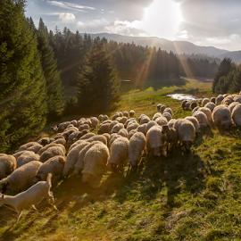 Sheep at sunset by Stanislav Horacek - Landscapes Prairies, Meadows & Fields