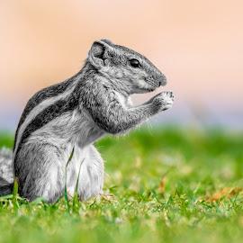 Indian Squirrel by Raj Nandi - Animals Other Mammals