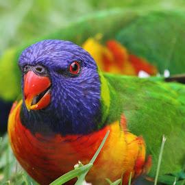 by Carole Walle - Animals Birds (  )