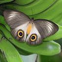 Urania Owl Butterfly