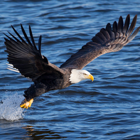 Success by Jerry Alt - Animals Birds ( bird, eagle, fish, bald, river )