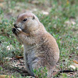 Lunch by Steve O'Donnell - Animals Other ( prairie dog, zoo, grass, summer, eating, mammal, animal )