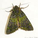 Mossy Moth