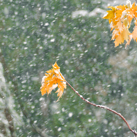 Early Winter Squall by Jane Spencer - Nature Up Close Trees & Bushes ( autumn, snow squall, blizzard, colored leaves, surprise )