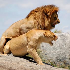 End of Romance by DJ Cockburn - Animals Lions, Tigers & Big Cats ( grassland, savannah, skyline, panthera leo, serengeti, pair, couple, plains, lions, mating, africa, tanzania,  )