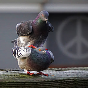 Make Love, Make Peace, Not War by Sunny Zheng - Animals Birds ( pigeons, love, peace, mating )