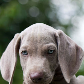 Flynn the puppy by Luca Pope - Animals - Dogs Puppies ( weimaraner, doggy, blue, beautiful, blue eyes, puppy, dog, photo, stunning, photography )