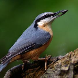 Nuthatch by Bob Rawlinson - Animals Birds ( marton hide )