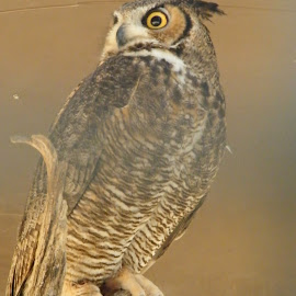 Great Horned Owl by Donna Probasco - Novices Only Wildlife (  )
