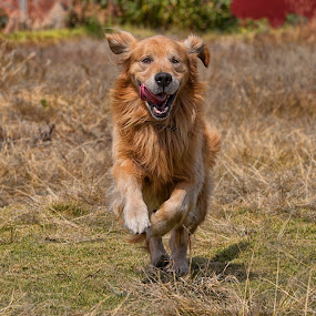 Runner by Alfredo Garciaferro Macchia - Animals - Dogs Running