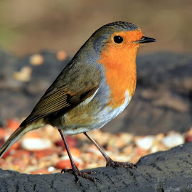 Robin in autumn sun by John Davies - Animals Birds ( wwt llanelli, robin, john davies, robin red breast, tamron 150-600, canon eos60d )