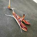 Pyralid Moth.