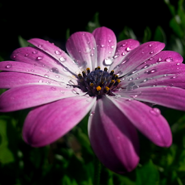 by Dipali S - Instagram & Mobile Android ( water drops, nature, android, flora, daisy, flower )