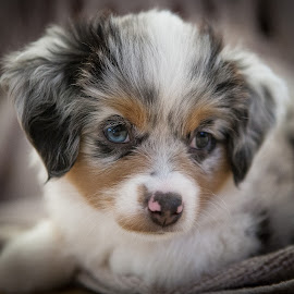 Chloe by Ron Meyers - Animals - Dogs Portraits