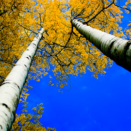 Aspen's Reach by Beverly McGowan - Nature Up Close Trees & Bushes ( sky, blue, autumn, montana, trees, forest, gold, aspens,  )