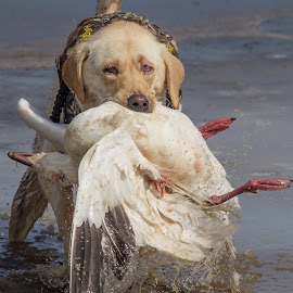 From the Cold Water  by Gretchen Steele - Animals - Dogs Running ( retrievers, hunting dogs, yellow labrador retriever, animals, dogs, working dogs, hunting, dogs with game, waterfowl hunting )