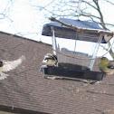 Blacked-caped chickadee