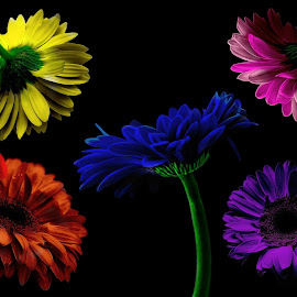 Gerber Rainbow by Staci Ferrara - Digital Art Things ( colorful, digital, floral, gerber, photoshop )