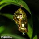Euploea chrysalis