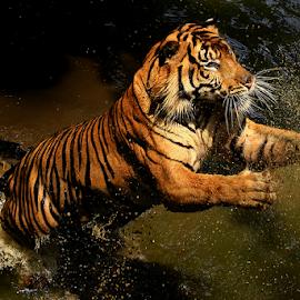 by Joshua Sujasin - Animals Lions, Tigers & Big Cats ( panthera tigris, reserved animal, vertebrae, ragunan zoo )