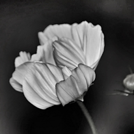 cosmo by Tracey Doak - Novices Only Macro ( b&w, black and white, cosmo, cosmos, bud,  )