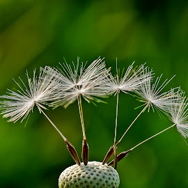 Dandelion II by Zoran Rudec - Nature Up Close Other plants ( dandelion )