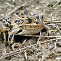 Plains (Blair's) Leopard Frog