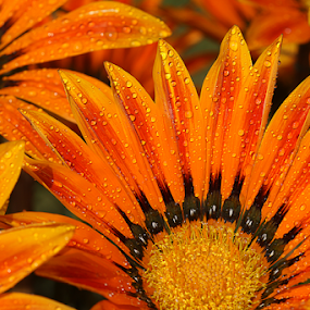 by Bharat Dudeja - Flowers Single Flower ( gazania, aster, daisy, flowers, water droplets, flower,  )