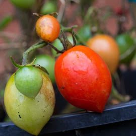 Late Season Tomatoes by Lydia Bishop - Nature Up Close Gardens & Produce ( water drops, red, green, ripe, tomatoes, produce )