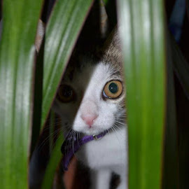 Incognito by Linda Kelly - Animals - Cats Kittens