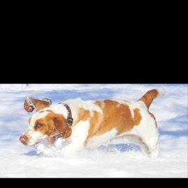 Snow dog by Jessica Sodorff - Animals - Dogs Running