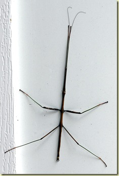 walking stick 01