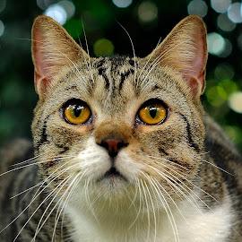 by Purnama Effendi - Animals - Cats Portraits ( cats, bekasi, cattery, kitten, animal )