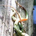 Grand Cayman Anole