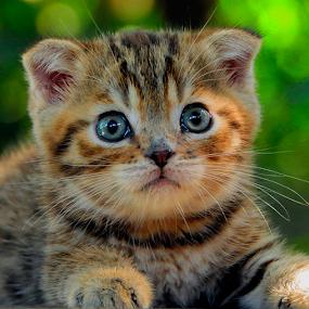 by Cacang Effendi - Animals - Cats Portraits ( cats, kitten, #scottishfoldphoto, #chandracattery, animal )