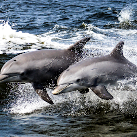 dolphins catching a wave by Diane Davis - Animals Other Mammals