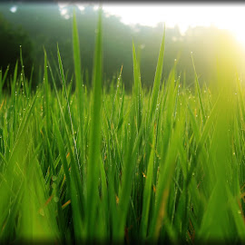 Embun Pagi by Sylvia Dianita - Nature Up Close Leaves & Grasses