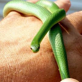 Green Grass Snake by Mike Davis - Animals Reptiles ( snake, maine, grass, green, grass snake )