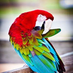Macaw Parrot Preening by Joe Boyle - Animals Birds ( bird, colorful, color, parrot, preening, preen, macaw )
