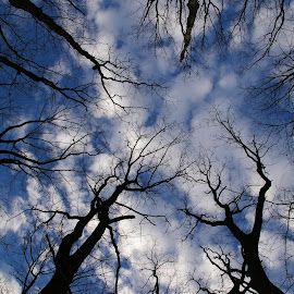 Reach for the Sky by Beth Daum - Nature Up Close Trees & Bushes ( clouds, sky, up and down, trees, perspective )