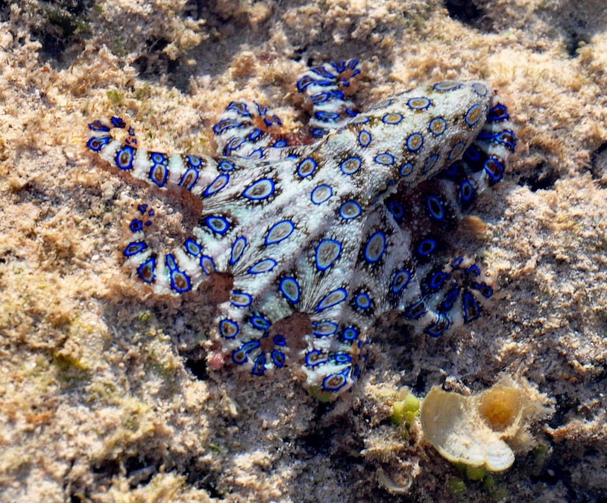 Blue Ringed Octopus Picture On Hand