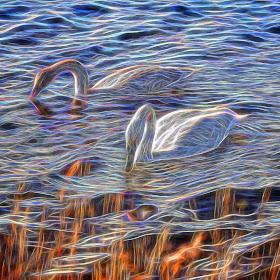Swans glow 2.jpg