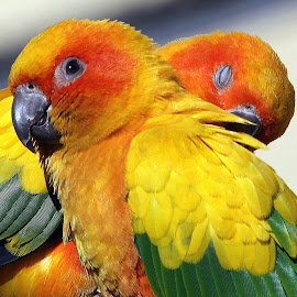 Sun Conure by Ralph Harvey - Animals Birds ( bird, sun conure, wildlife, ralph harvey, marwell zoo )
