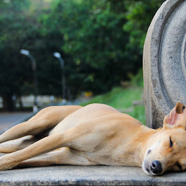nap on stone by Gihan Chamara - Animals - Dogs Portraits ( dog portrait, stray, sleeping,  )